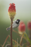 Male House Sparrow Perched on a Red Hot Poker Stalk  Pembrokeshire Coast Np  Wales  UK