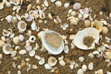 Shells on Tide Line  Sandyhills Bay  Solway Firth  Dumfries and Galloway  Scotland  February