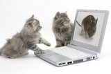 Two Maine Coon Kittens Looking at an Image of a Mouse on a Laptop Computer