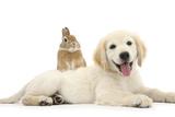 Netherland Cross Rabbit  Looking over the Back of Golden Retriever Dog Puppy  Oscar  3 Months