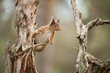 Red Squirrel (Sciurus Vulgaris) on Old Pine Stump in Woodland  Scotland  UK  November