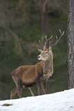 Red Deer (Cervus Elaphus) Stag in Pine Woodland in Winter  Cairngorms National Park  Scotland  UK