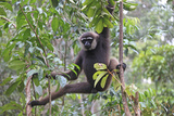 Bornean White-Bearded or Agile Gibbon  (Hylobates Albibarbis) in Tree  South West Borneo