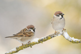 Two Tree Sparrows (Passer Montanus) Perched on a Snow Covered Branch  Perthshire  Scotland  UK
