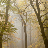 Beech Trees (Fagus Sylvatica) in Autumn Mist  Beacon Hill Country Park  the National Forest  UK
