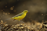 Yellow Wagtail (Motacilla Flava Flavissima) Adult Male in Spring Plumage Feeding  Hertfordshire  UK