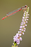Small Red Damselfly (Ceriagrion Tenellum) Covered in Dew  Arne Rspb Reserve  Dorset  England  UK