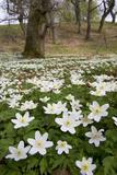 Wood Anemones (Anemone Nemorosa) Growing in Profusion on Woodland Floor  Scotland  UK  May 2010