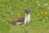 Stoat (Mustela Erminea)  UK  July Did You Know There are 37 Subspecies of Stoat around the World