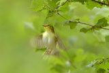 Wood Warbler (Phylloscopus Sibilatrix) in Flight in Sesile Oak Forest  Wales  UK  May
