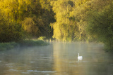 Mute Swan (Cygnus Olor) on the River Itchen at Dawn  Ovington  Hampshire  England  UK  May