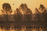 Common Cranes (Grus Grus) at Surise in Water with Some Flying  Brandenburg  Germany  October 2008