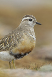 Female Eurasian Dotterel (Charadrius Morinellus) Grampian Mountains  Cairngorms Np  Scotland  UK