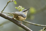 European Nuthatch (Sitta Europaea) Powys  Wales  May