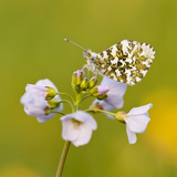 Orange Tip Butterfly {Anthocharis Cardamines} Female Resting on Cuckooflower {Cardamine} Devon  UK