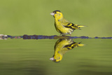 Siskin (Carduelis Spinus) Male at Garden Pool  Scotland  UK  May