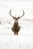Red Deer Stag (Cervus Elaphus) Portrait in Snowy Moorland  Cairngorms Np  Scotland  UK  December