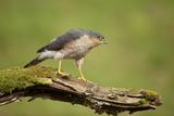 Sparrowhawk (Accipiter Nisus) Adult Male Scotland  UK  February