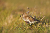 Adult Male Dunlin (Calidris Alpina) in Summer Plumage Calling on Moorland  Scotland  UK  June