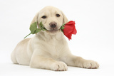 Yellow Labrador Retriever Bitch Puppy  10 Weeks  Holding a Red Rose