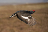 Black Grouse (Tetrao Tetrix) Male in Flight at Lek  Cairngorms Np  Grampian  Scotland  UK  April