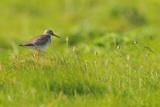 Redshank (Tringa Totanus) Calling  Balranald Rspb Reserve  North Uist  Outer Hebrides  Scotland