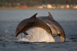 Bottlenose Dolphin (Tursiops Truncatus) Two Breaching in Evening Light  Moray Firth  Scotland  UK
