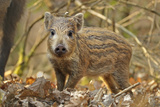 Wild Boar (Sus Scrofa) Piglet in Woodland Undergrowth  Forest of Dean  Gloucestershire  UK  March