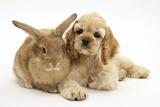 Buff American Cocker Spaniel Puppy  China  10 Weeks  Lying Beside Sandy Lionhead-Cross Rabbit