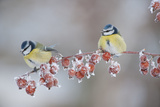 Blue Tits (Parus Caeruleus) in Winter  on Twig with Frozen Crab Apples  Scotland  UK  December