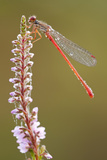 Small Red Damselfly (Ceriagrion Tenellum) Resting on Willow Herb Flower Spike  Arne Nr  Dorset  UK