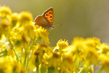 Small Copper (Lycaena Phlaeas) Butterfly Resting on Common Ragwort (Senecio Jacobaea) Dorset, UK Papier Photo par Ross Hoddinott