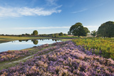 New Forest Heathland with Ling (Calluna Vulgaris)  Bell Heather (Erica Sp) and Pool  Hampshire  UK