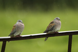 Turtle Doves (Streptopelia Turtur) Perched on a Rusting Iron Rail in a Rain  Essex  England  June
