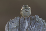 Backlit Meadow Pipit (Anthus Pratensis) Perched on an Old Post  Scotland  UK  May 2010