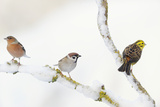 Tree Sparrow   Male Chaffinch and a Male Yellowhammer on Snowy Branch Perthshire  UK  December
