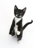 Black and White Tuxedo Kitten  Tuxie  Standing Up on Haunches and Looking Up with Raised Paws
