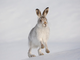 Mountain Hare (Lepus Timidus) Running Up a Snow-Covered Slope  Scotland  UK  February