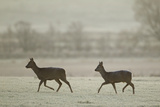 Two Roe Deer (Capreolus Capreolus) Walking across a Frosty Field  Scotland  UK  November 2011