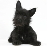 Black Terrier-Cross Puppy  Maisy  3 Months  Lying with Head Raised