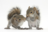 Grey Squirrels (Sciurus Carolinensis) Two Young Hand-Reared Babies Portrait Papier Photo par Mark Taylor
