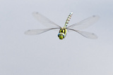 Southern Hawker Dragonfly (Aeshna Cyanea) in Flight  Arne Rspb Reserve  Dorset  England  UK  August