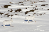 Mountain Hares (Lepus Timidus) in Winter Coats Running over Snow  Cairngorms Np  Scotland  UK