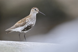 Dunlin (Calidris Alpina) Perching on a Rock  Outer Hebrides  Scotland  UK  June