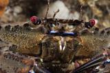 Velvet Swimming Crab (Necora Puber - Liocarcinus Puber)  St Abbs  Berwickshire  Scotland  UK