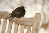 Male Blackbird (Turdus Merula) Perched in Winter  with Feathers Ruffled  Scotland  UK