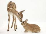 Fallow Deer (Dama Dama) Fawn and Sandy Netherland-Cross Rabbit