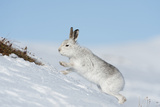 Mountain Hare (Lepus Timidus) Scratching for Food in the Snow  Scotland  UK  February