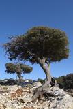 Kermes Oak (Quercus Coccifera) Trees  Kritsa  Crete  Greece  April 2009