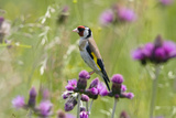 Goldfinch (Carduelis Carduelis) on Flowering Thistle (Cirsium Rivulare) Poloniny Np  East Slowakia